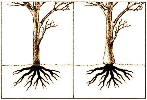 Pogrubianie nasady pnia bonsai