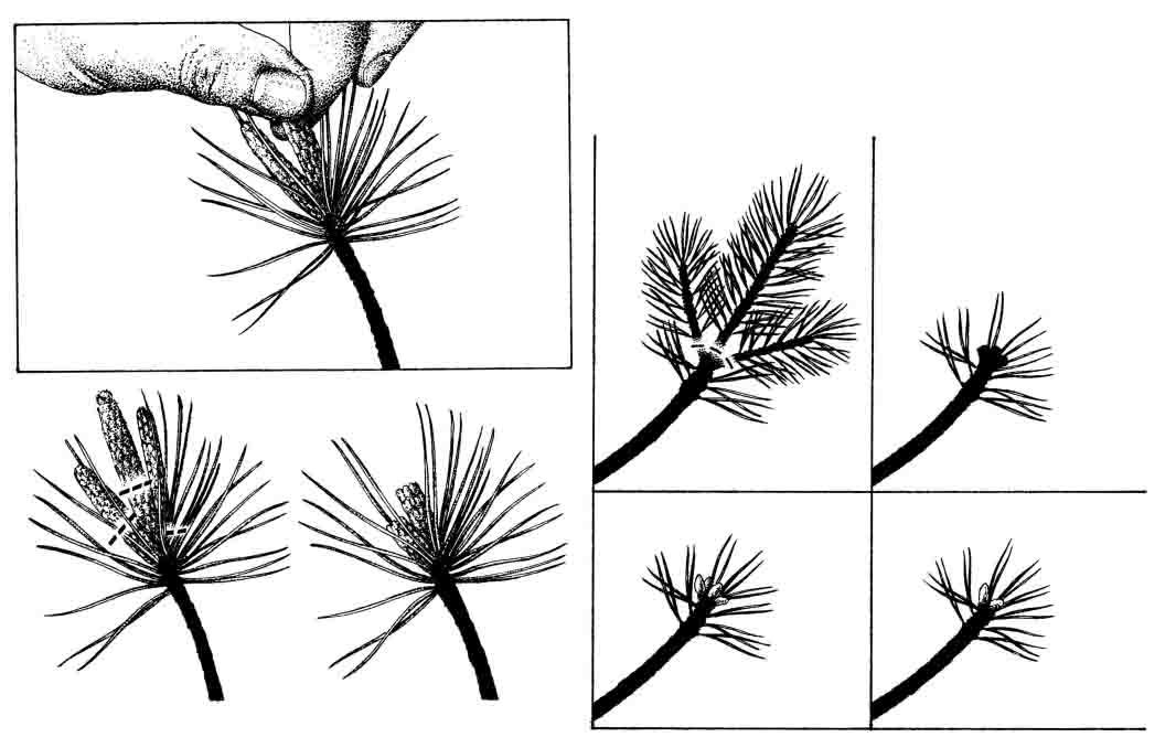 Sosny bonsai