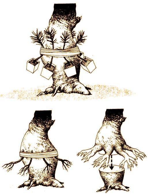 bonsai nowe korzenie