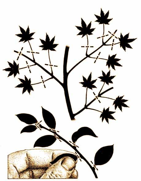 ciecie lisci bonsai