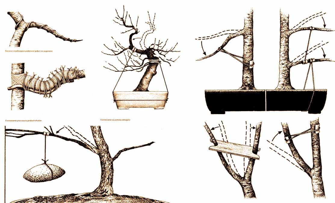 formowanie galezi bonsai