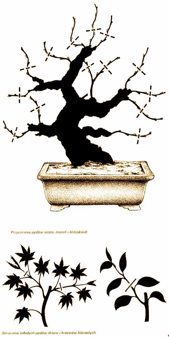 skracanie lisciastych bonsai
