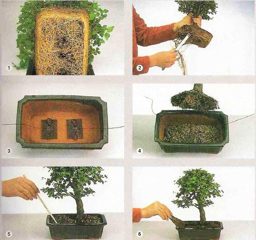 Przesadzanie drzewka bonsai