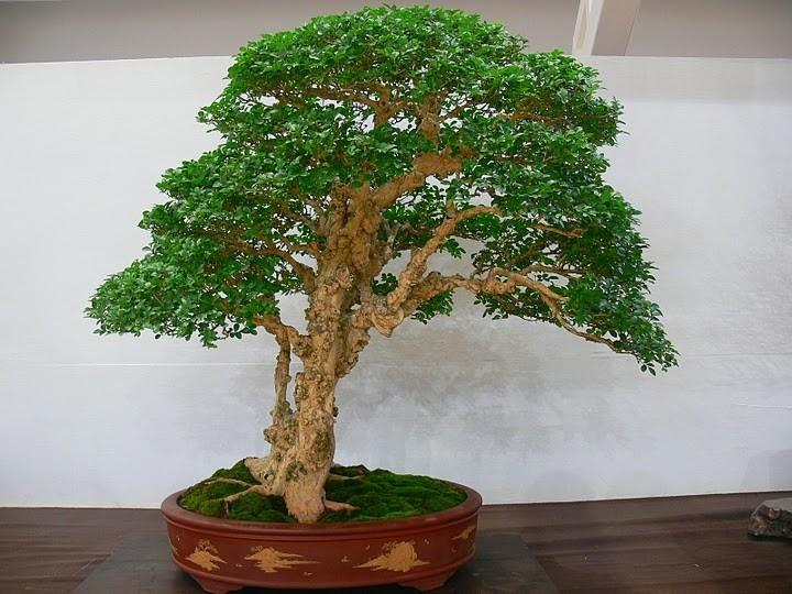 murraja bonsai